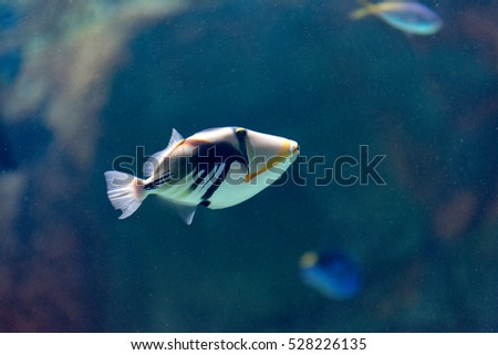 Lagoon triggerfish (Rhinecanthus aculeatus), also known as the Picasso triggerfish