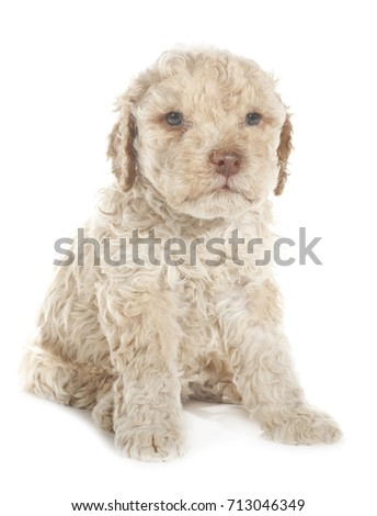 Lagotto Romagnolo dog puppy