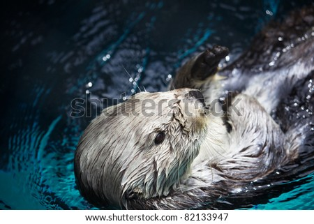 Laid back Sea Otter in a pool of turquoise blue water - stock photo
