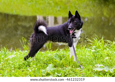Laika dog for hunting wild fowl and animals. Husky dog standing on meadow. Exhibition Stand dogs. Beautiful dog on a walk.