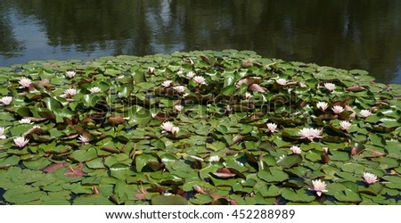 lake with blossoming lotus