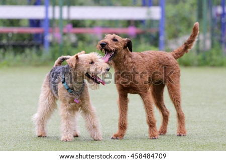 Lakeland and the Irish terrier play