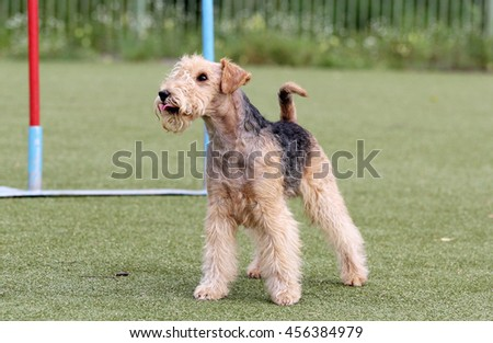 Lakeland Terrier on classes in Dog agility