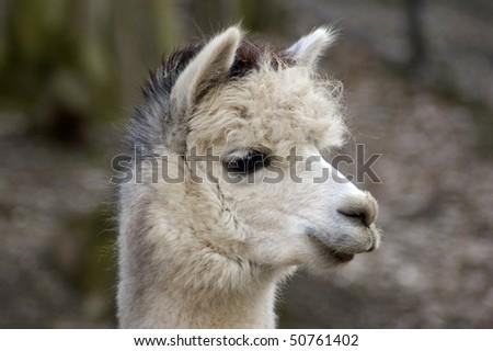 Lama alpaca ( Lama guanicoe f. pacos) - stock photo