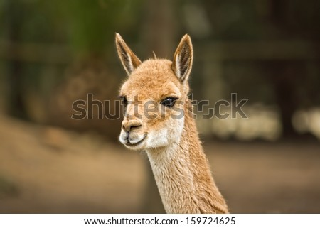 Lama glama is the latin name for The llama. This South American camelid is widely used as a meat and pack animal  - stock photo