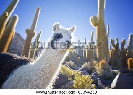 Lama in Bolivia with cactus - stock photo