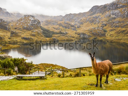 Lama in Cajas National Park in Ecuador. Amazing landscapes of Andean highlands, beautiful, with many valleys ,lakes, creeks, covered with haze most of the time. Not many tourists, difficult trails. - stock photo