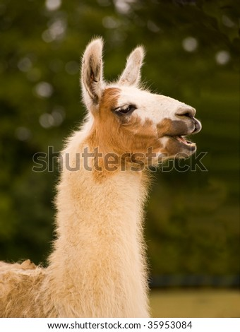 Lama in front of green foliage - stock photo