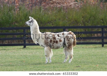 lama in the field posing for pictures - stock photo