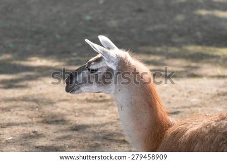 Lama in the zoo. - stock photo