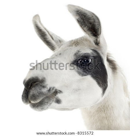 Lama - Lama glama in front of a white background - stock photo