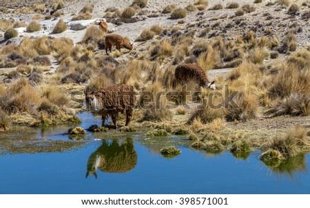 LAMA, PERU - CIRCA MARCH 2014: Lamas Reflection - stock photo
