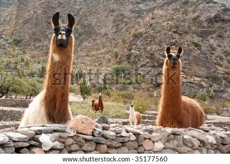 Lama watching - stock photo