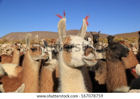 Lamas in Andes Mountains, Bolivia - stock photo