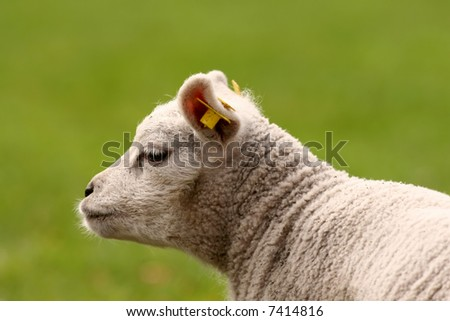 Lamb against green background of a meadow - stock photo
