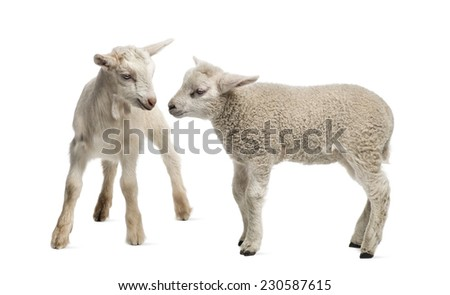 Lamb and goat kid (8 weeks old) isolated on white - stock photo