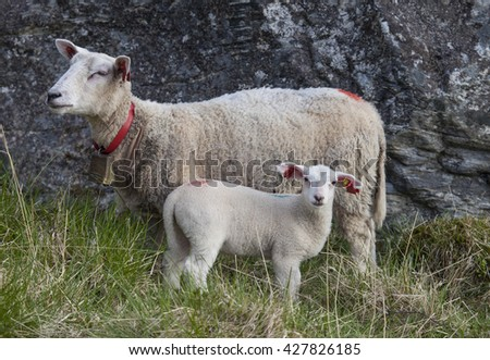 Lamb and sheep grazing in springtime.Northern Norway.Tromso - stock photo