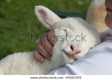 Lamb cuddling in to his human friend. - stock photo