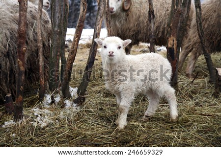 Lamb eating the hay. Skudde breed sheep. Winter in the farm - stock photo