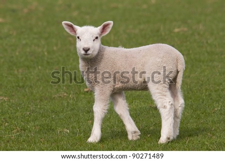 Lamb grazing in fresh pastures - stock photo