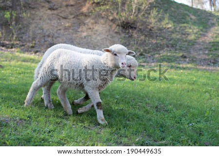 lamb grazing in rural field, sheep grazing on a green field - stock photo