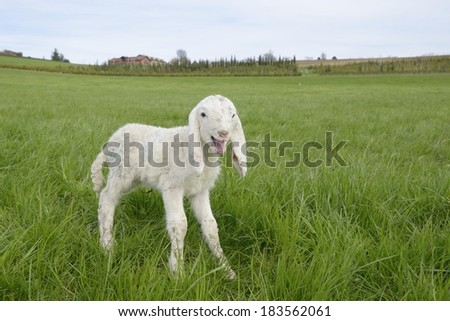 Lamb in a meadow - stock photo