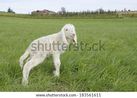 Lamb in a meadow (Ovis aries) - stock photo