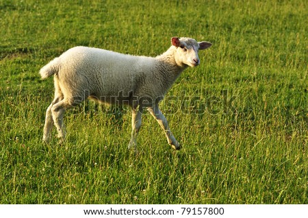 Lamb in Evening Light, family farm, Webster County, West Virginia, USA - stock photo