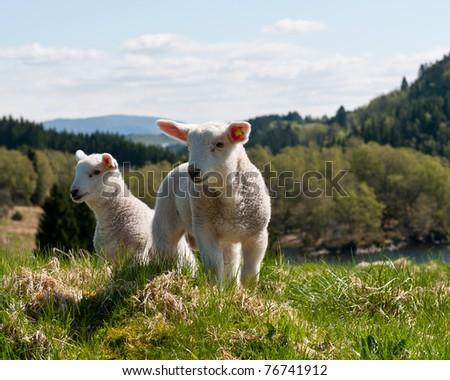 Lamb in nature - stock photo