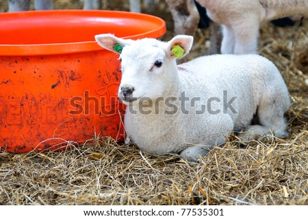 lamb in stable - stock photo