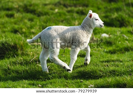 Lamb in the Peak District National Park Derbyshire - stock photo