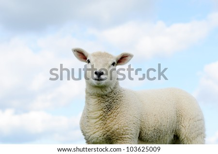 Lamb isolated against blue sky in the Peak District National Park Derbyshire. - stock photo