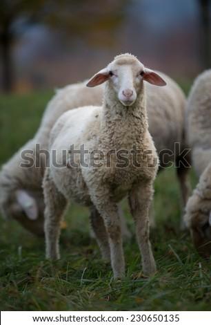 lamb looking at camera  - stock photo