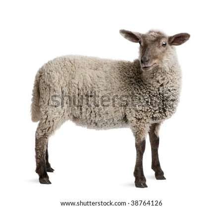 Lamb, 5 months old, standing in front of white background, studio shot - stock photo