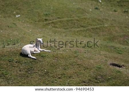 lamb on hill side - stock photo