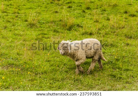 Lamb on pasture  - stock photo