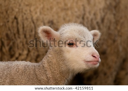Lamb portrait