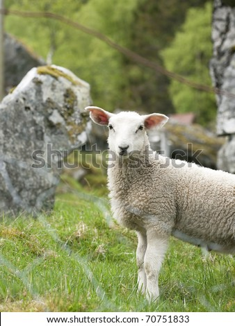 Lamb portrait - stock photo