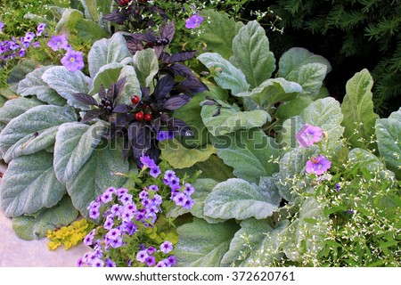 Lamb's ear plants with other purple flowers and red berry plant, University of Chicago grounds, Chicago, Illinois - stock photo