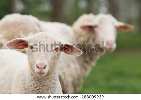 Lamb standing on grass and looking at camera - stock photo