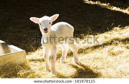 Lamb, standing on straw in barn - stock photo