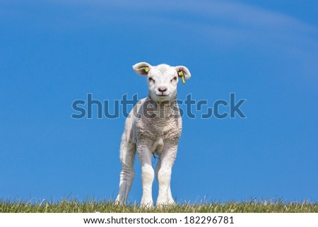 Lamb standing on the grass under a blue sky