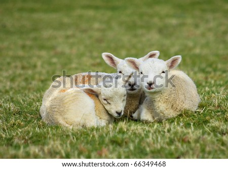 lamb triplets cuddle together for comfort and heat - stock photo