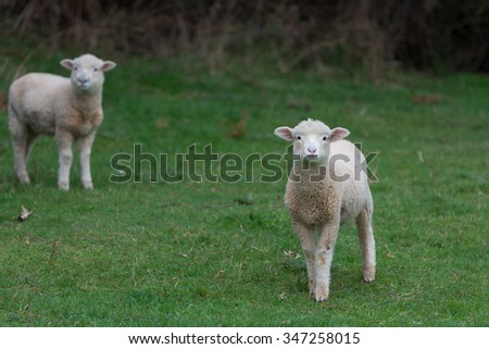 Lamb walking in field