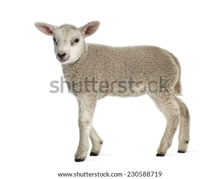 Lamb (8 weeks old) isolated on white - stock photo
