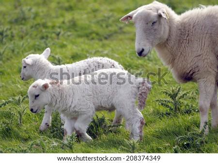 Lamb with adult sheep at LLangrannog in Cardigan, Wales - stock photo