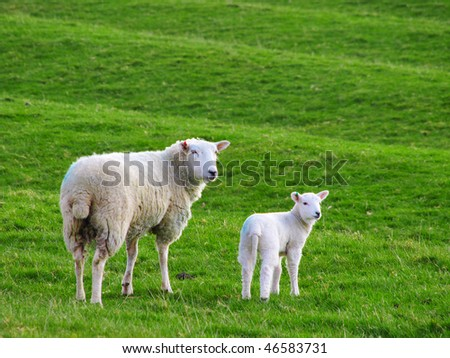 Lamb With Mother - stock photo