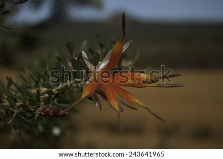 Lambertia inermis, a West Australian plant from Cape Le-Grande. - stock photo