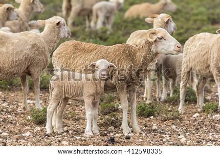 lambing season on a sheep farm with females and their newborn lambs - stock photo
