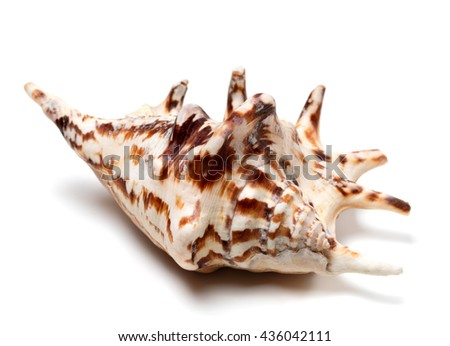 Lambis tiger shell isolated on white background